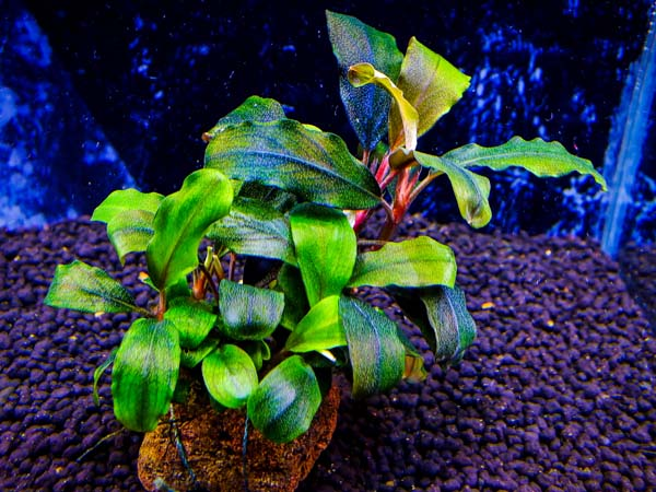 Bucephalandra sp. Enae Red